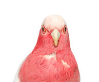 Pink parrot  Isolated on white Stock Photography