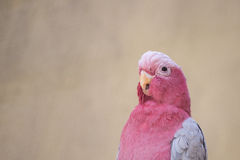 Pink parrot Royalty Free Stock Photography