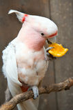 Pink parrot. Royalty Free Stock Images