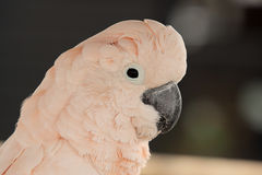 Pink parrot portrait Royalty Free Stock Photos
