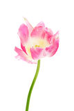 Pink Parrot Tulip Stock Photo