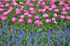 Pink parrot tulips Royalty Free Stock Image