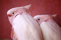 Pink parrots Major Mitchell Royalty Free Stock Photos