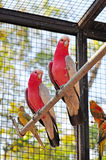 Pink parrots Stock Image