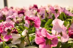 Pink pasies Stock Images