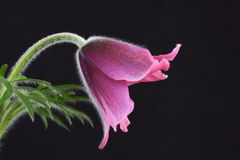 Pink pasque flower Pulsatilla. On a black background Royalty Free Stock Photo