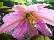 Pink Passiflora Stock Photo