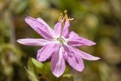 Pink Passiflora tarminiana flower. Natural floral background royalty free stock image