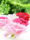 Pink pastel rose stock photo