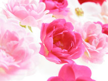 Pink pastel rose. Close-up of fine pink pastel rose on white background Stock Photography