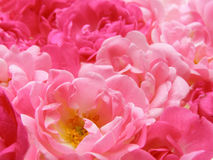 Pink pastel rose. Close-up of fine pink pastel roses as a background Royalty Free Stock Photos