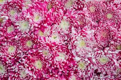 Chrysanthemums bouquet pattern Royalty Free Stock Images
