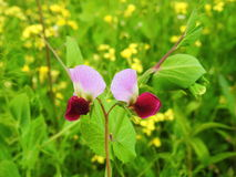 Pink pea plant flower. S in field, Lithuania Royalty Free Stock Photos