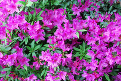 Pink peach azalea blooms. Close up of pink peach azalea blooms stock images