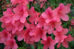 Pink Peach Azalea Blooms. Close up of Azalea Blooms Royalty Free Stock Images
