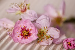 Pink peach blossom Royalty Free Stock Images