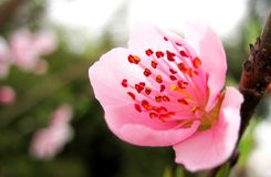 Pink peach blossom Royalty Free Stock Image