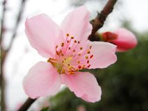 pink peach blossom Stock Images