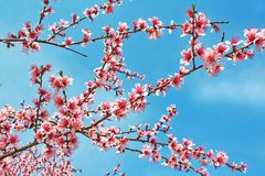 Pink peach blossom Royalty Free Stock Photo