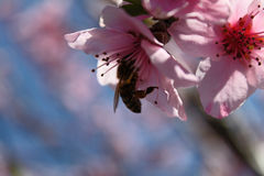 Pink peach blossom with a bee Stock Image