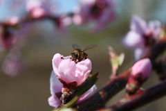 Pink peach blossom with a bee Royalty Free Stock Photo
