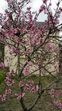 Pink peach blossom Royalty Free Stock Photography