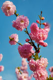 The pink peach blossom in blue sky Stock Image