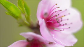 Pink peach blossom on a branch in a shallow depth of field stock video footage