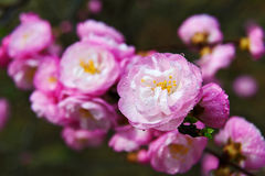 Pink peach blossom close-up Stock Images