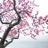 Pink peach blossom flower tree along the lake Stock Photo