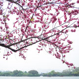 Pink peach blossom flower tree along the lake Royalty Free Stock Photo