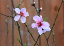 Pink Peach Blossom Flowers on a Bush Royalty Free Stock Photo
