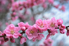 Pink peach blossom flowers on a tree in Japan during spring 2016 Royalty Free Stock Photography