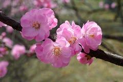 The pink peach blossom Stock Photos