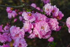 The pink peach blossom Stock Photography