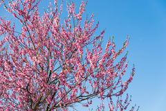 Pink Peach blossom in spring. Peach blossom in spring on blue clear sky background with copy space Stock Image