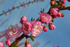 The pink peach blossom sunset Royalty Free Stock Images