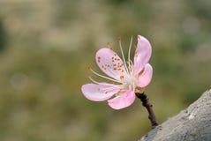 Pink peach blossom royalty free stock photos