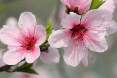 Peach blossom. Pink peach blossom on the tree Royalty Free Stock Images