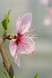A peach blossom flower Royalty Free Stock Photo