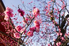 Pink Peach Blossom tree royalty free stock photography