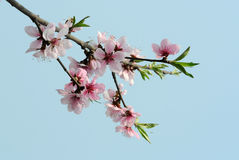 Peach blossom flower. Pink peach blossom under blue sky royalty free stock photos