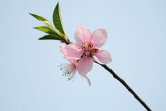 Peach blossom flower Stock Image