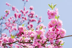 Pink peach blossoms Stock Photography