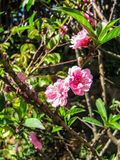Pink peach blossoms, Prunus persica Royalty Free Stock Images