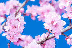Pink peach blossoms Royalty Free Stock Images