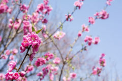 Pink peach blossoms Royalty Free Stock Image
