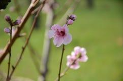 Pink peach flower Stock Image