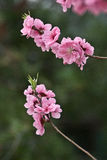 Pink peach flower in full bloom Royalty Free Stock Images