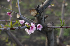 Pink peach flower Royalty Free Stock Photography
